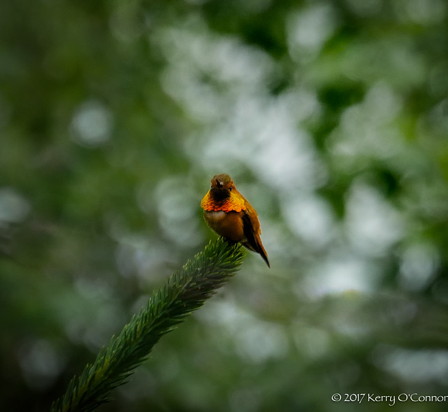 Rufous Hummingbird male on branch