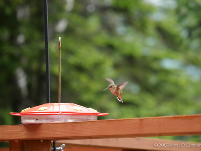 Rufous Hummingbird female comes in for a landing