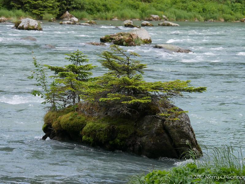 """""""Bonsai"""" trees in Haines, AK"""