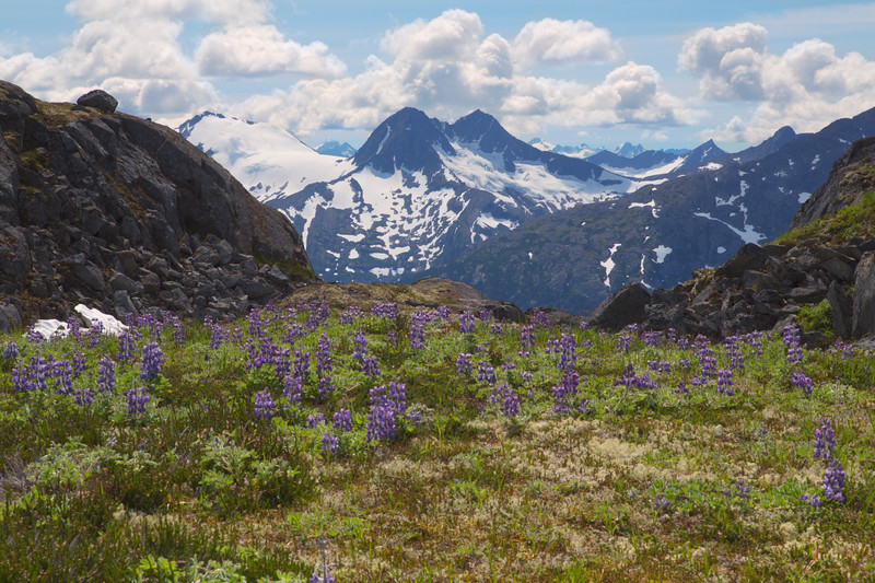 Lupine &  Mountains