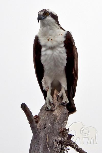 Osprey sitting on dead stump at Healy Lake, Alaska