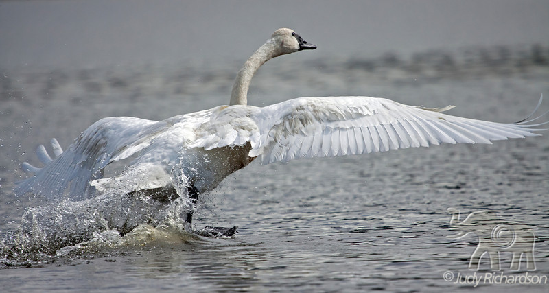 Trumpeter Swan taking flight at Healy Lake, Alaska