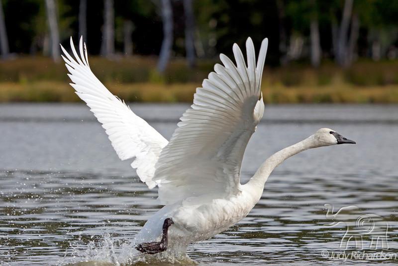 Trumpeter Swan takes off at Healy Lake, Alaska