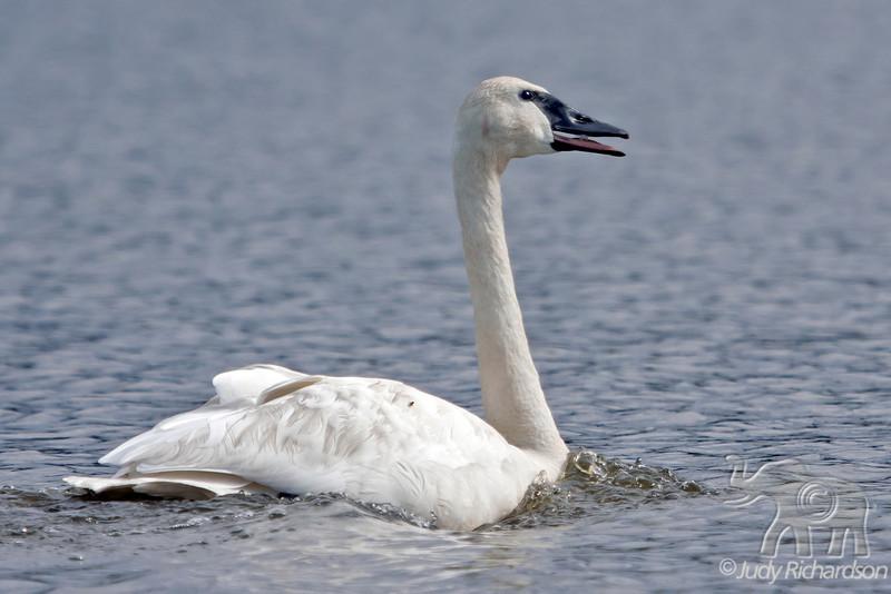 Trumpeter Swan Calling at Healy Lake, Alaska