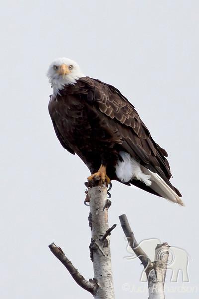 Bald Eagle watching us at Healy Lake, Alaska