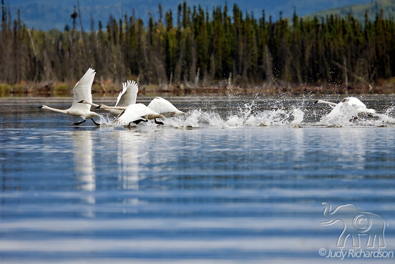 Trumpeter Swans trying to take off at Healy Lake, Alaska