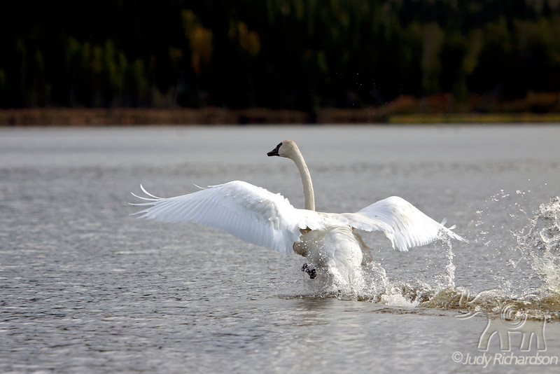 Trumpeter Swan Wing Spread on take off at Healy Lake, Alaska