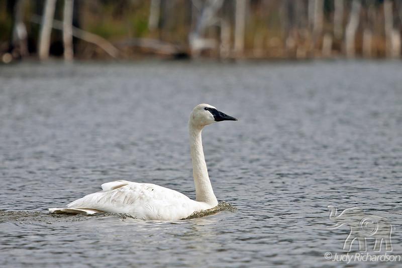 Trumpeter Swan at Healy Lake, Alaska