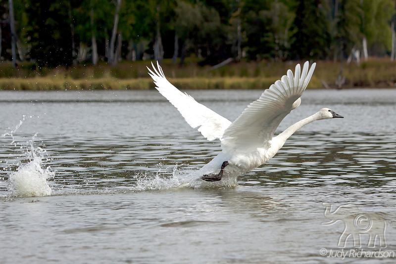 Trumpeter Swan wings out at Healy Lake, Alaska