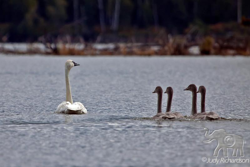 Trumpeter Swan & Chicks at Healy Lake, Alaska
