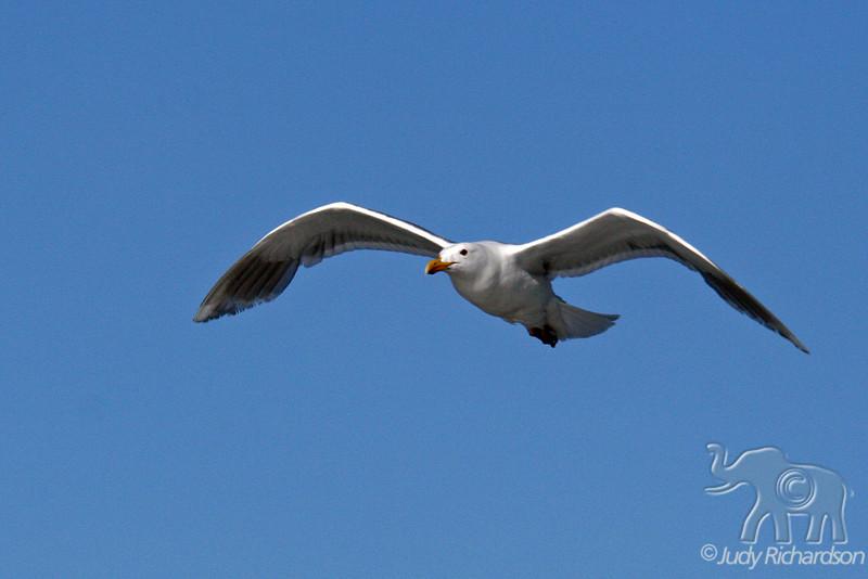 Gull following boat