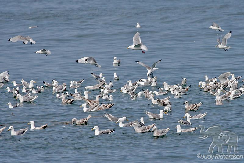Gulls Galore in Kachemak Bay off Homer Spit