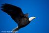 Bald Eagle in Homer, Alaska<br /> February 21 & 22, 2009
