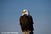 Bald Eagle in Homer, Alaska<br /> February 21 & 22, 2009