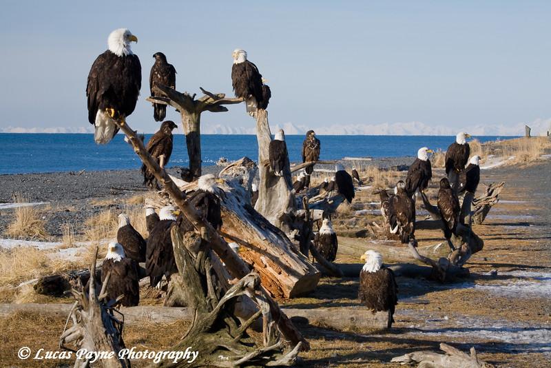 Bald Eagles in Homer, Alaska<br /> February 21 & 22, 2009