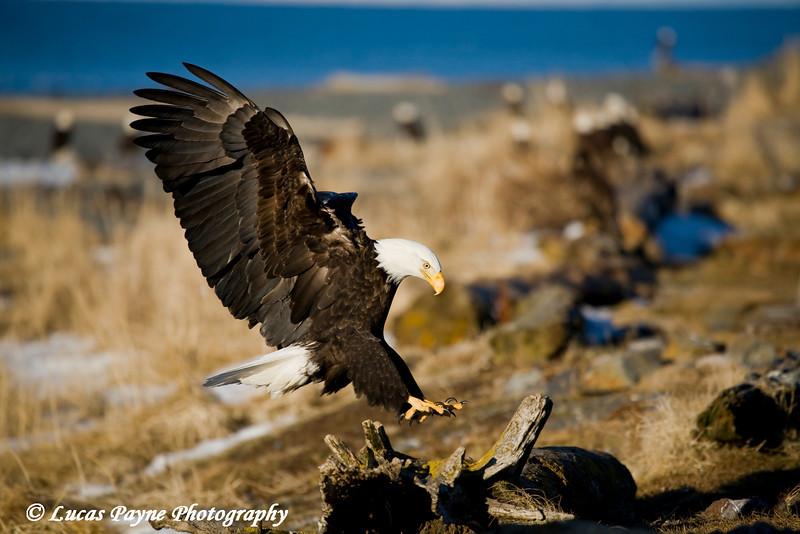 Bald Eagles in Homer, Alaska<br /> February 21, 2009