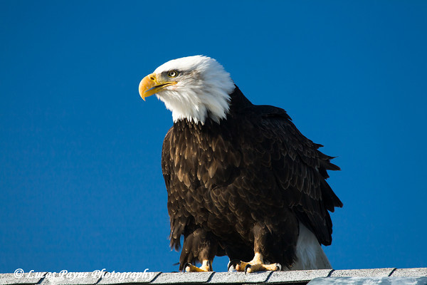 Bald Eagle perched on a roof in Homer, Alaska<br /> February 21 & 22, 2009