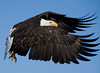 Bald Eagles in Homer, Alaska<br /> February 21, 2009