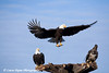Bald Eagles in Homer, Alaska<br /> February 21 & 22, 2009