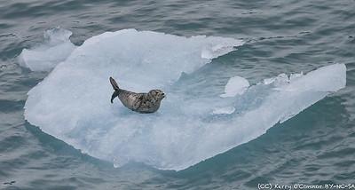 Harbor Seal Whiskers - Hubbard Glacier