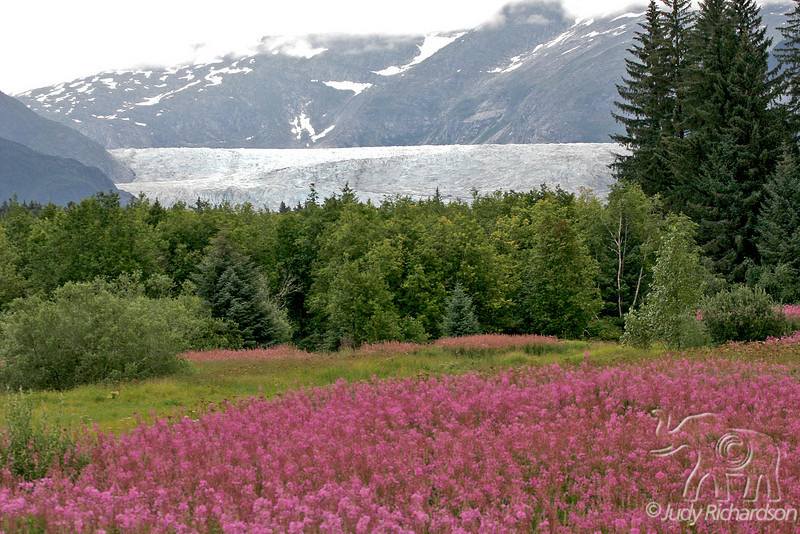 Fireweed and Mendenhall Glacier