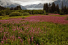 Colorful fireweed in front of Mendenhall Glacier