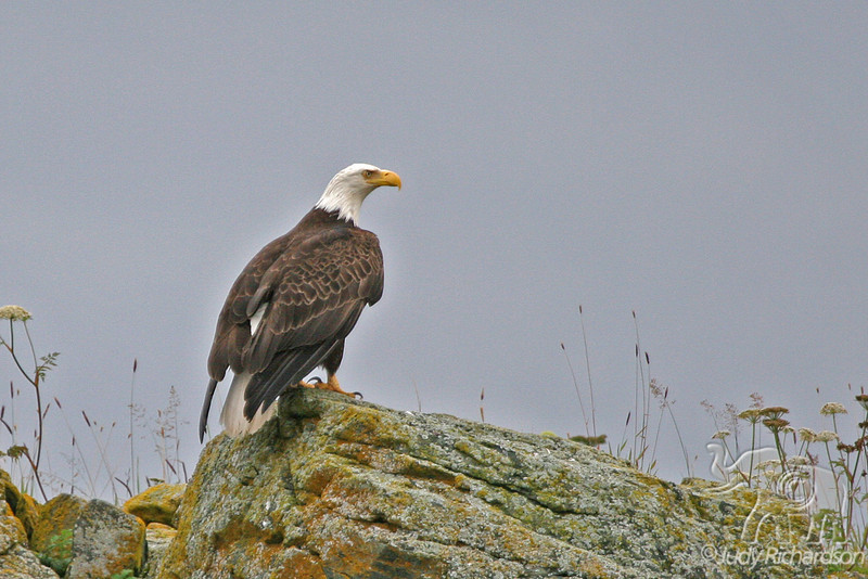 Bald Eagle on rock in Auke Bay, Juneau, Alaska