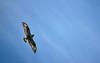 AKS95-063a sharp-shinned hawk