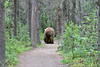 Large brown bear wandering down tourist path as we give it space