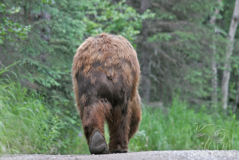Bear walking down road from tourist path~a rather nerve-racking experience!