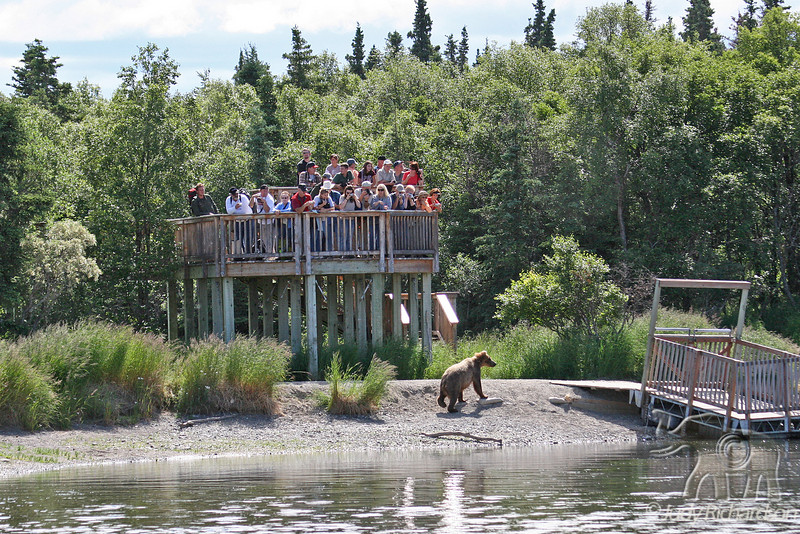 Group of tourists on platform maintaining security from bear below-platform has several gates that safeguard people