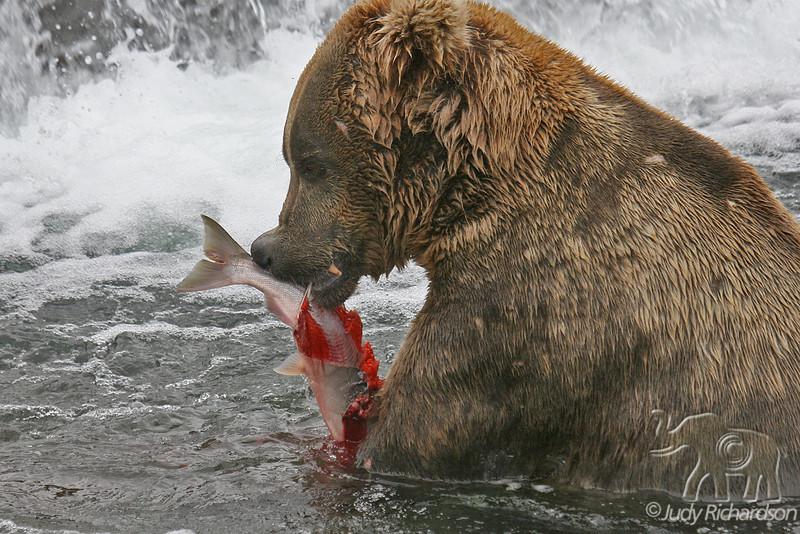 Dominate Male Brown Bear shredding catch below falls