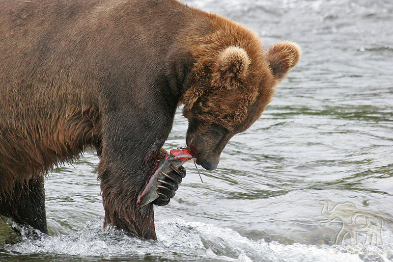 Massive claws grip fish against leg to help in eating