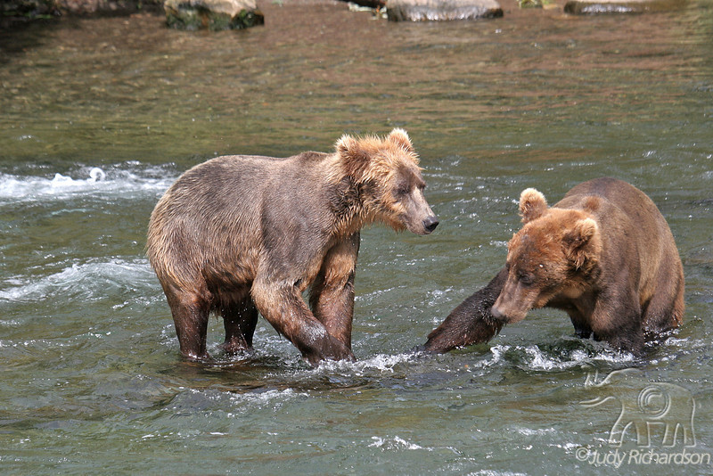 Young bears approaching each other