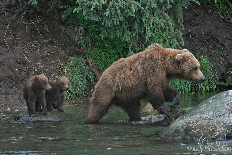 Mother bear with 2 young cubs
