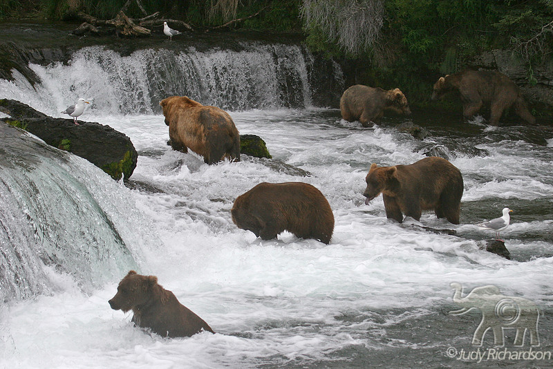Bear activity at Brooks falls with gulls waiting for leftovers