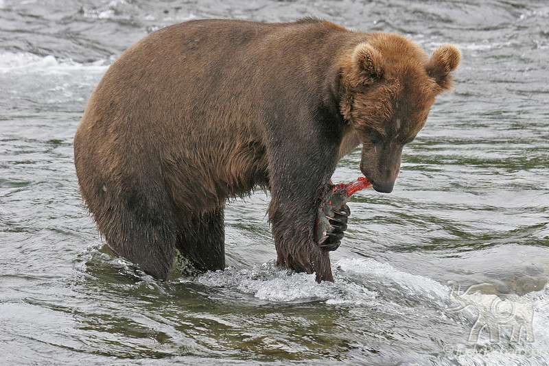 Bear holding fish against leg and shredding it