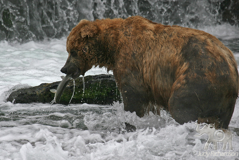 Catching a salmon at base of falls