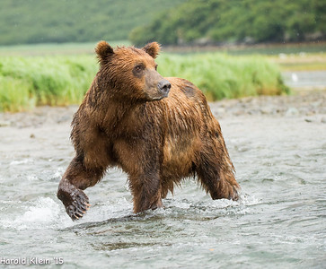 Another resident bear working the river...