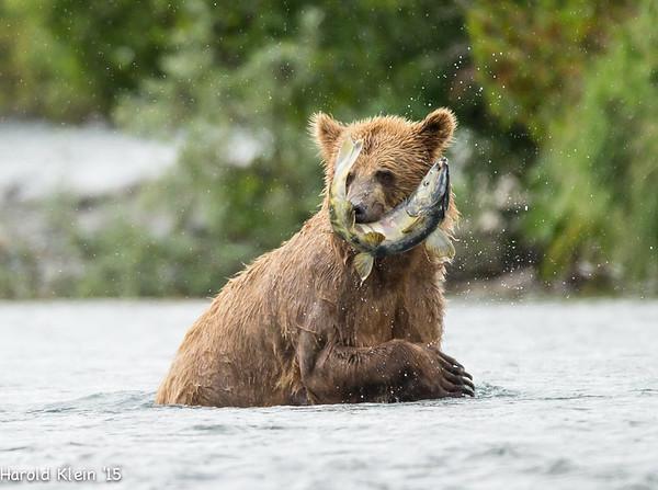 Katmai Bears late July 2016