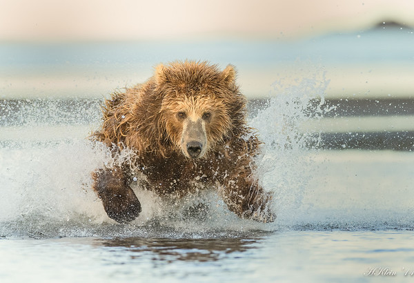 Katmai Bears, July 2014