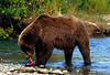 Chocolate colored brown bear feeding on sockeye from Margot Creek.