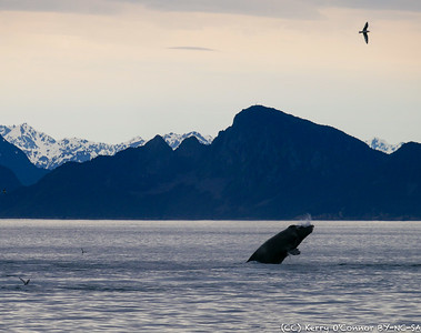 Finishing out the 2nd whale breach of the day