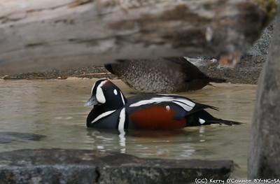 Harlequin Duck - Seward Sealife Center