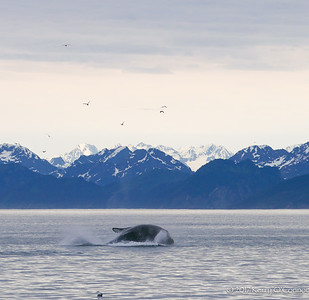 Humpback completing the breach