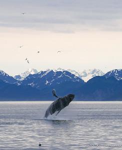 Humpback Whale Breach 3 of 3