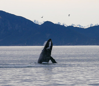 Second whale breach of the day - Kenai Fjords