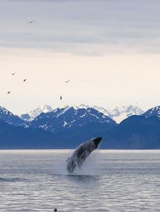 Humpback Whale Breach 2 of 3