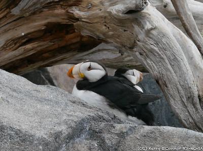 Puffins at the Seward Sealife Center