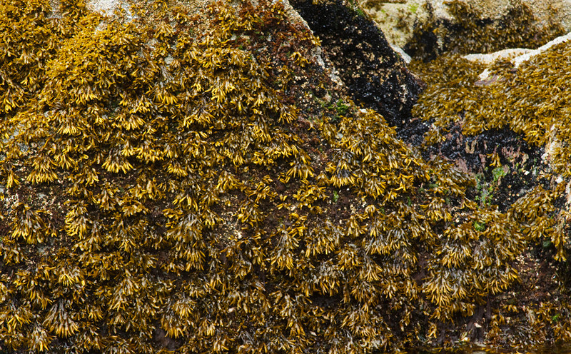 Kelp pods covering the rocks.